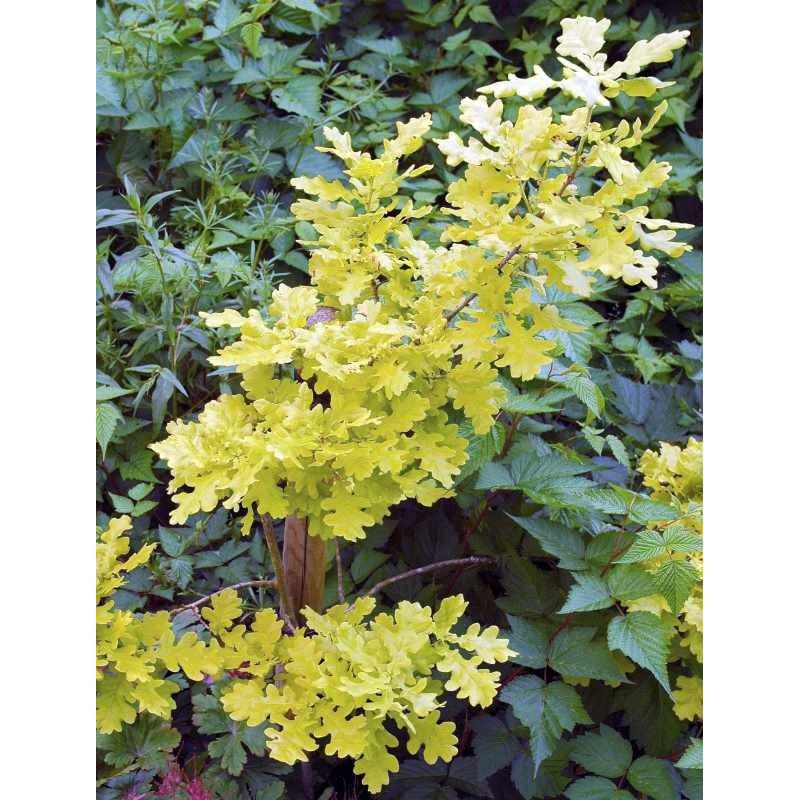 Quercus robur 'Concordia'