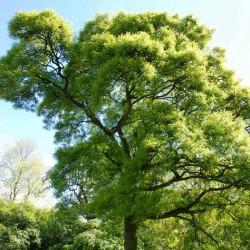 Quercus robur 'Pectinata'