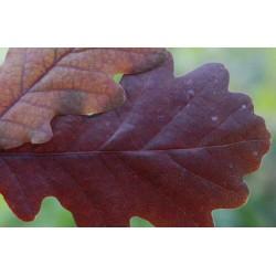Quercus robur 'Timuki'
