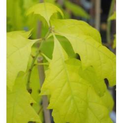 Quercus rubra 'Boltes Gold'
