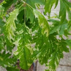 Quercus rubra 'Wolfdonks Pride'