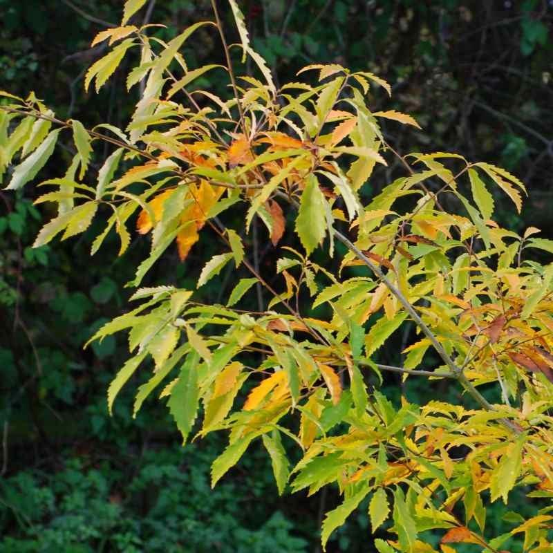 Quercus serrata (glandulifera)