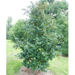 Quercus semecarpifolia