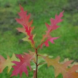 Quercus texana 'New Madrid'