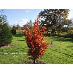 Quercus x bimundorum 'Crimson Spire'