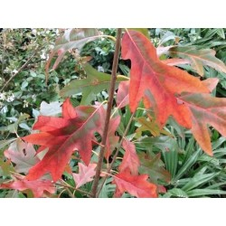 Quercus x 'Fire Water'