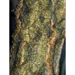 Quercus x hispanica 'Fulhamensis'