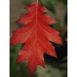 Quercus x richteri
