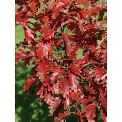 Quercus x sargentii 'Thomas'
