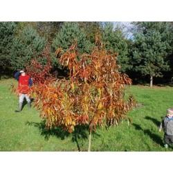 Quercus x schochiana