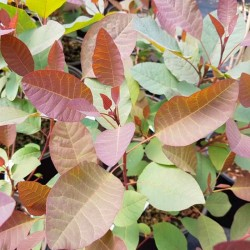 Cotinus 'Grace' - summer leaves