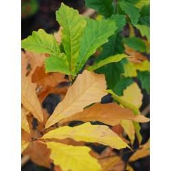 Quercus x warei 'Windcandle'