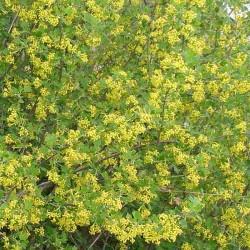 Ribes odoratum
