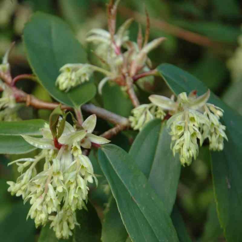 Ribes laurifolium - winter flowers