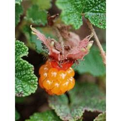 Rubus calycinoides 'Betty Ashburner'