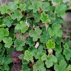 Rubus calycinoides 'Betty Ashburner' - ground cover