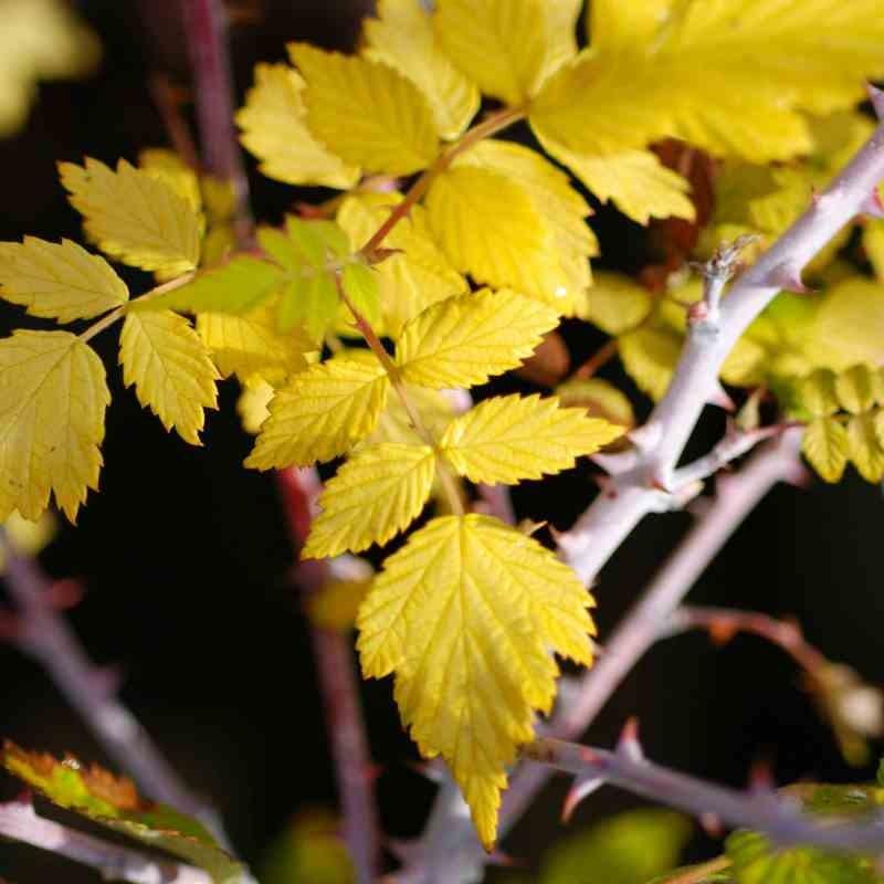 Rubus cockburnianus 'Golden Vale'