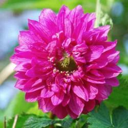 Rubus spectabilis 'Olympic Double'