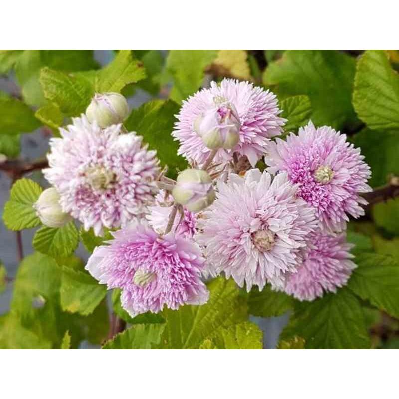 Rubus ulmifolius 'Bellidiflorus'