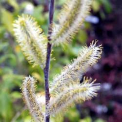 Salix acutifolia 'Blue Streak'