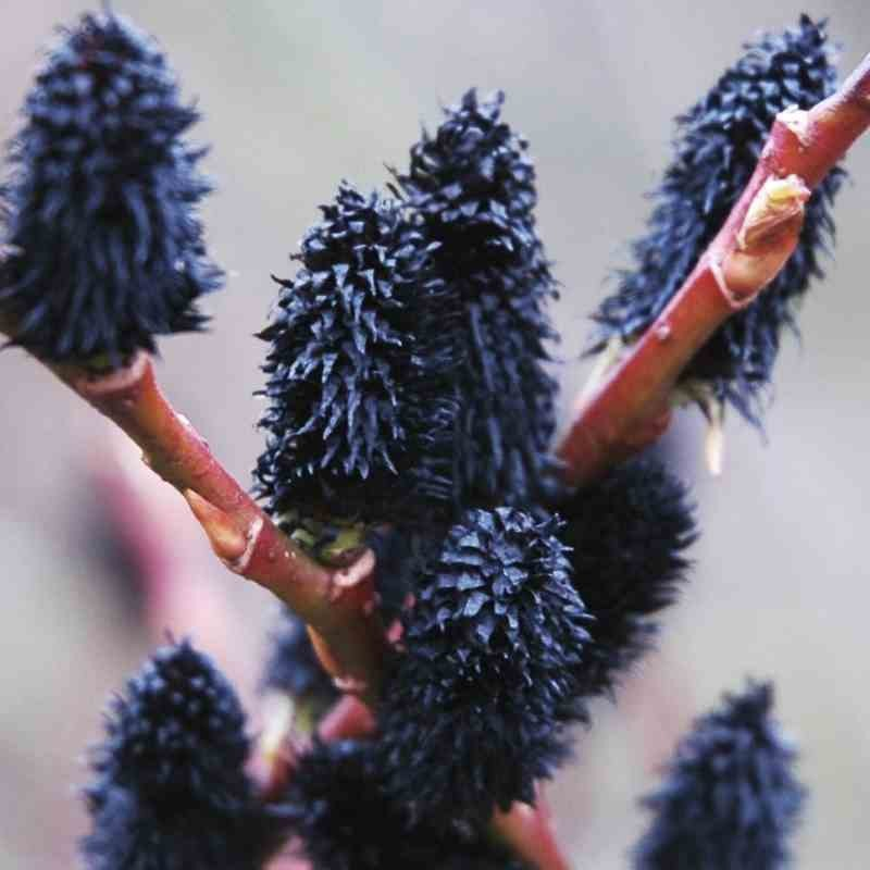 Salix gracilistyla 'Melanostachys'