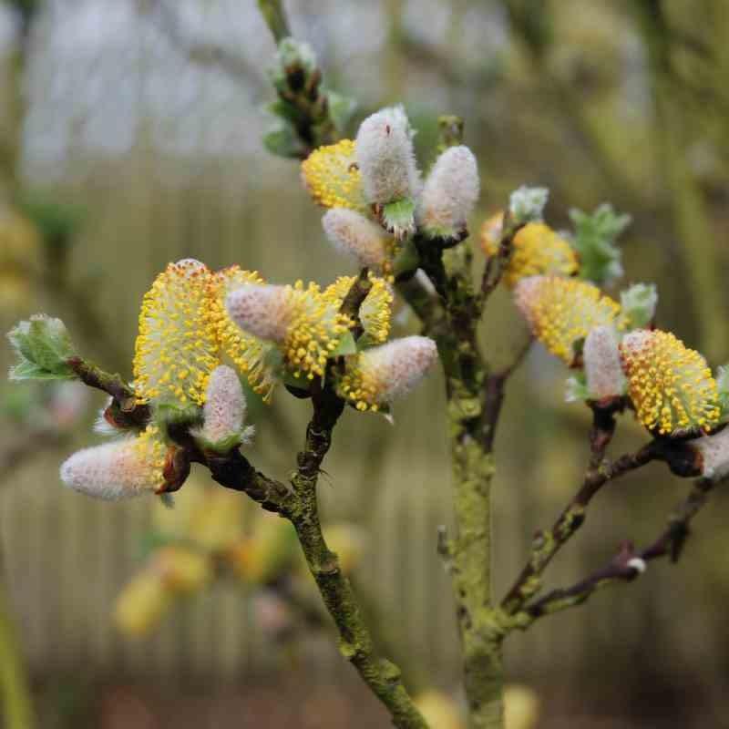 Salix hastata 'Wehrhahnii'