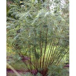 Salix x rubra 'Eugenei'