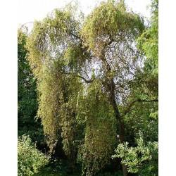 Salix x sepulcralis 'Erythroflexuosa'