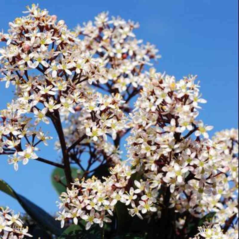 Skimmia japonica 'Rubinetta'