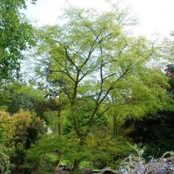 Sophora japonica (Styphnolobium japonicum)