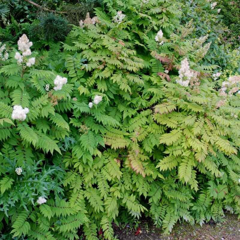 Sorbaria tomentosa var angustifolia