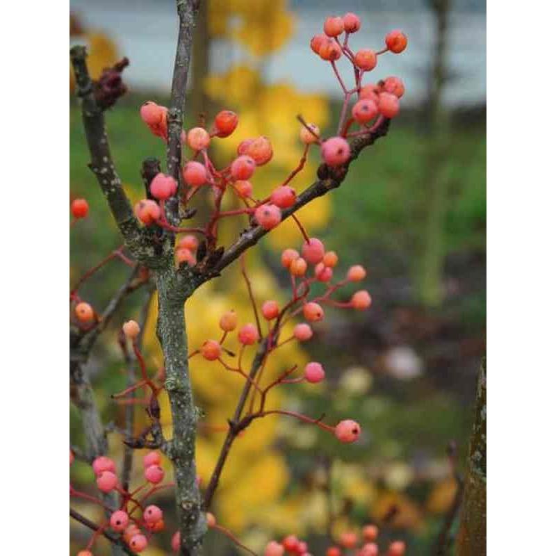 Sorbus alnifolia 'Red Bird'