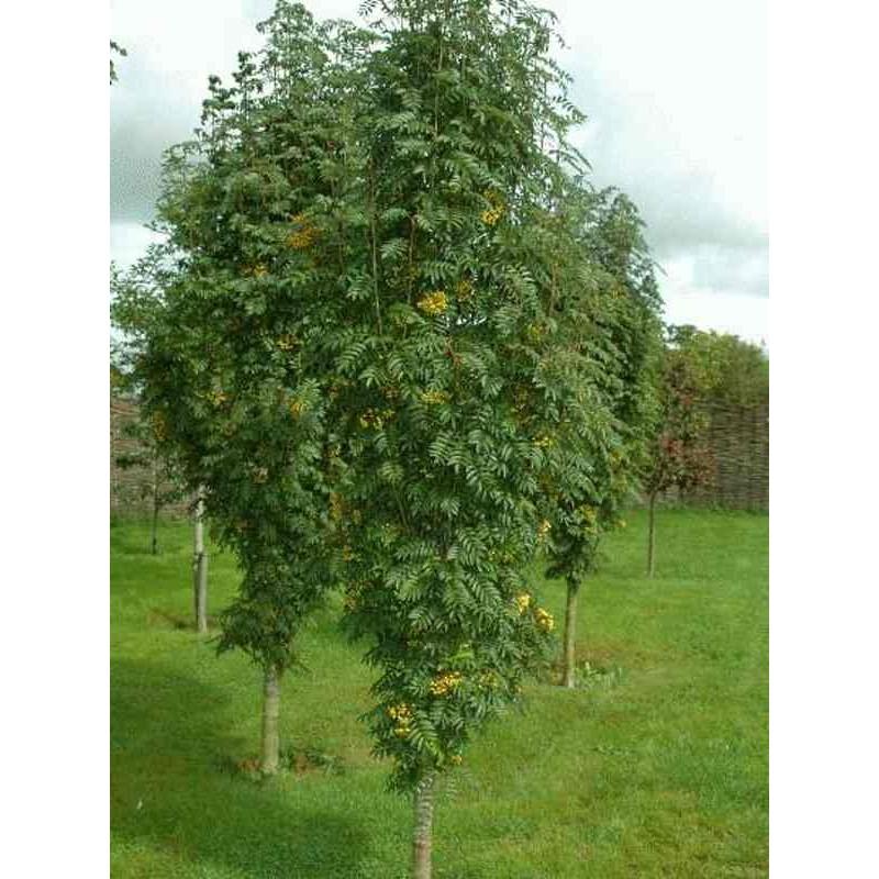 Sorbus Autumn Spire (Flanrock)
