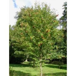 Sorbus commixta 'Embley'