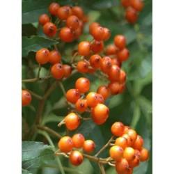 Sorbus commixta 'Ravensbill'