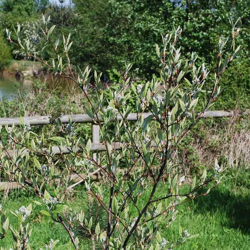 Sorbus folgneri 'Lemon Drop'