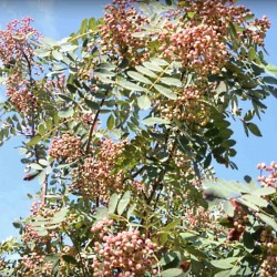 Sorbus hupehensis 'Pink Pagoda'