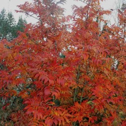 Sorbus sargentiana - autumn colour