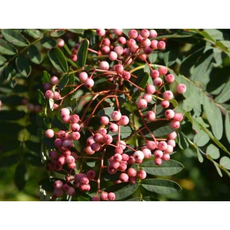 Sorbus 'Yunnan Pink'