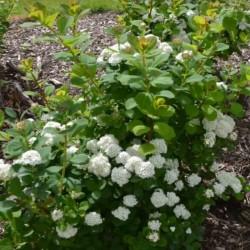 Spiraea betulifolia 'Tor' - established plant in flower