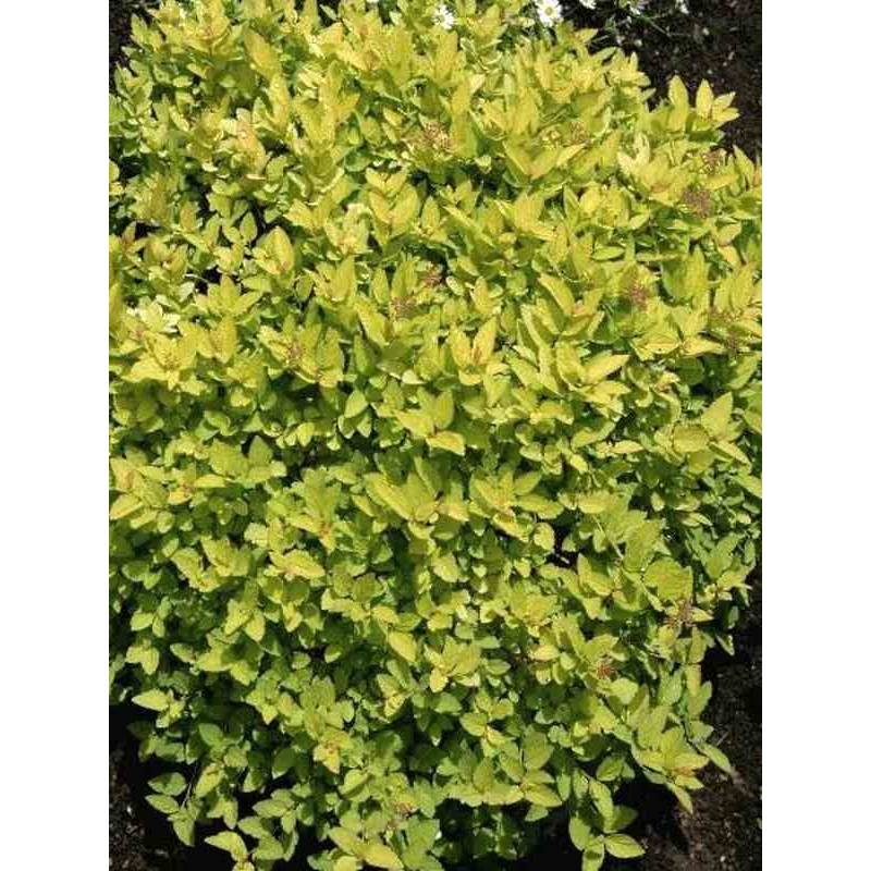 Spiraea japonica 'Golden Princess'