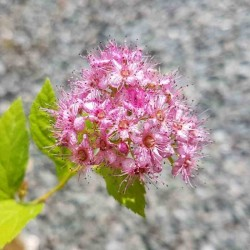 Spiraea japonica 'Golden Princess' - flowers