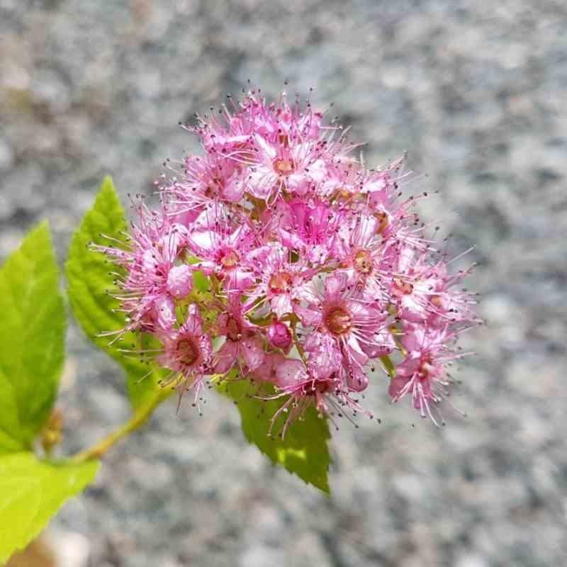 Spiraea japonica 'Golden Princess' - flowers