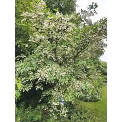 Styrax japonica