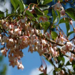 Styrax japonica 'Pink Chimes'