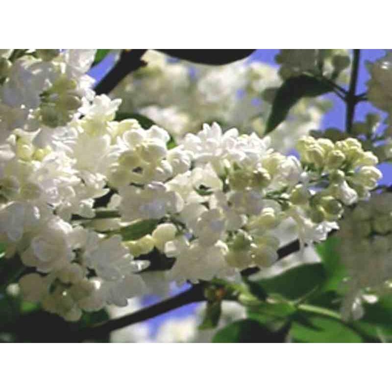 Syringa vulgaris 'Mme Lemoine'