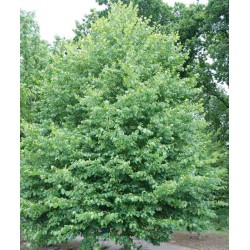 Tilia cordata (Bundle of 50 Plants)