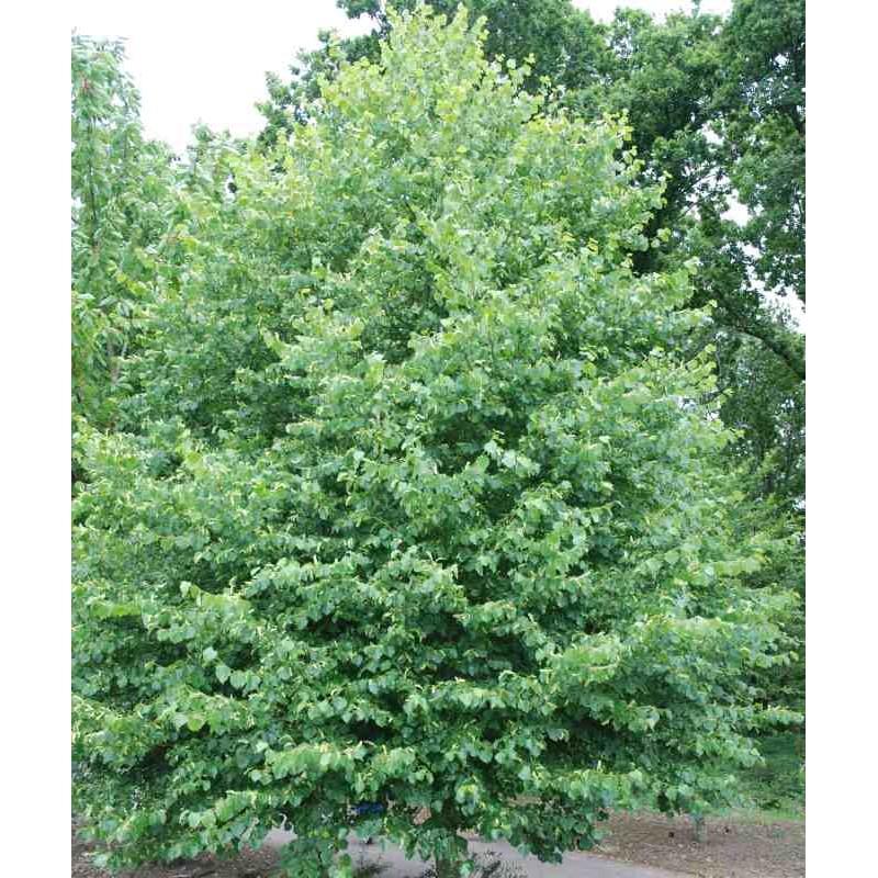 Tilia cordata (Bundle of 50 Plants)
