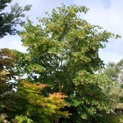 Tilia japonica 'Ernest Wilson'