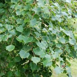 Tilia mongolica - leaves close up